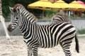 Zebra Chapmana