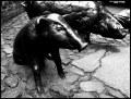 pomnik Zwierząt Rzeźnych. Świnia