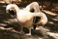 Pelikan baba (Pelecanus onocrotalus)