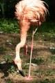 Flaming (Phoenicopterus ruber)