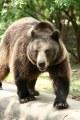 Niedźwiedź brunatny (Ursus arctos)