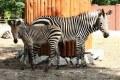 Zebra Hartmanna (Equus Zebra Hartmannae)