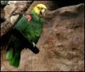 Amazonka gwarna (żółtogłowa)