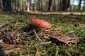 muchomor w runie leśnym
