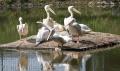 Pelikany nad stawem