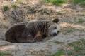 Śpiący niedźwiedź