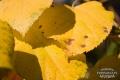 Żółty jesienny liść 2
